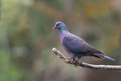 Bolle's Pigeon | kanarieduva | Columba bollii