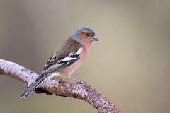 Common Chaffinch | bofink | Fringilla coelebs