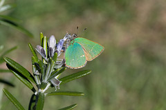 C'est un c̶a̶n̶a̶r̶i̶   papillon vert