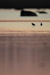 Common Redshank | rödbena | Tringa totanus