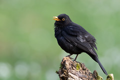 Common Blackbird | koltrast | Turdus merula