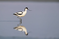 Pied Avocet | skärfläcka | Recurvirostra avosetta