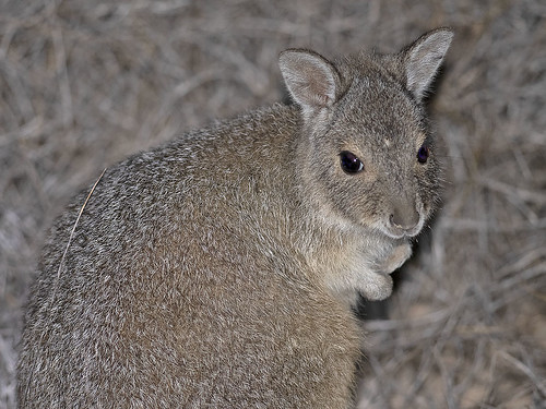 "Rufous Hare-wallaby - Bernier Island • <a style=""font-size:0.8em;"" href=""http://www.flickr.com/photos/95790921@N07/49803373533/"" target=""_blank"">View on Flickr</a>"