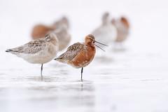Bar-tailed Godwit | myrspov | Limosa lapponica