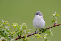 Lesser Whitethroat | ärtsångare | Sylvia curruca