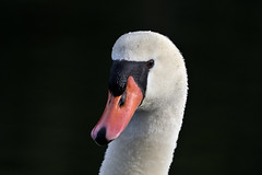 Chetola Swan