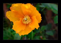 Welsh Poppy (Meconopsis cambrica var aurantiaca)