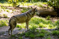 Vlk eurasijský (Canis lupus lupus