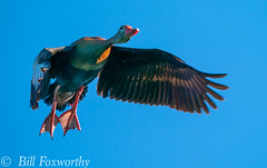 Sony A9,    Whistling Ducks ,           DSC00391,   May 04, 2020,  1-1250 sec at f - 9.0,   ISO 500         -