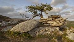 Hawthorn Tree, Dartmoor.