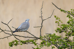 Common Wood Pigeon | ringduva | Columba palumbus