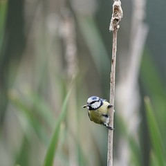 Blue Tit taken in the reeds at Poynton Pool near Stockport