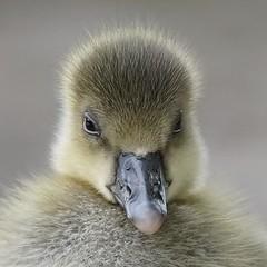 Greylag Goose gosling, very photogenic