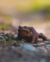 Rupikonna, common toad