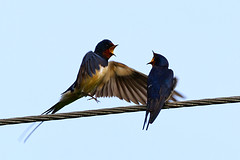 Swallows taken at Clent Hill NR