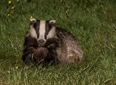 Badger -Meles meles  _A7A7771