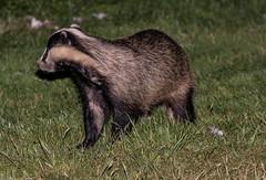 Badger -Meles meles  _A7A7760