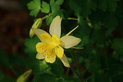 Yellow Columbine, University of Arkansas Campus -  Fayetteville, Arkansas