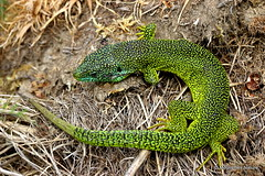 IMG_0528X. Green Lizard (Lacerta bilineata) M