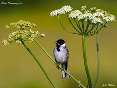 Reed Bunting 27/05/20.