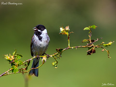 Reed Bunting at Ferry Meadows 01/06/20.