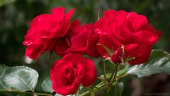 fresco come una rosa