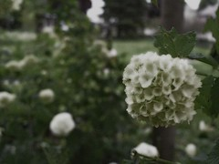 """Photo Series: Flower Portraits: """"The snowball part of the Snowball Bush"""""""