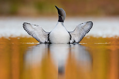 Black-throated Loon | storlom | Gavia arctica