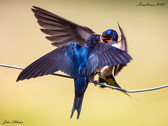 Adult Swallow feeding juvenile at Ferry Meadows 05/07/20.