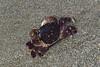 Photo:Purple Shore Crab (Hemigrapsus nudus) 12020-07-07 (1) By