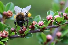 bourdon précoce (bombus lucorum)a