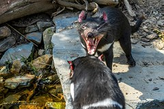 Tasmanian devil - Ďábel medvědovitý (Sarcophilus harrisii)