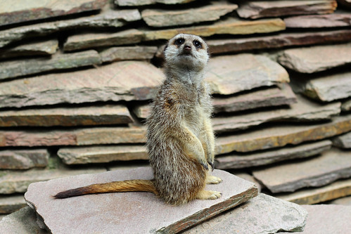 """Meerkat - Amsterdam, Netherlands • <a style=""""font-size:0.8em;"""" href=""""http://www.flickr.com/photos/104409572@N02/50216150922/"""" target=""""_blank"""">View on Flickr</a>"""