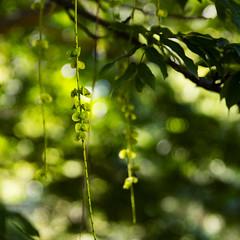 Strings of seedpods