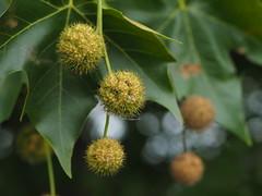 london plane tree fruit
