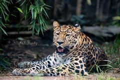 Levhart mandžuský (Panthera pardus orientalis)