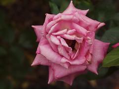 Rose aus dem Garten