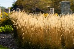 golden reeds-1