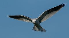 White-tailed Kite 174