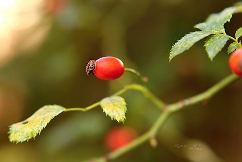 rose hips autumn csipkebogyó ősz
