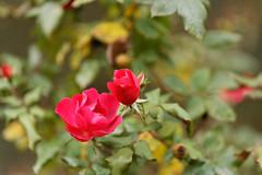 Rotes Freitagsblümchen