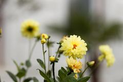 Gelbes Freitagsblümchen