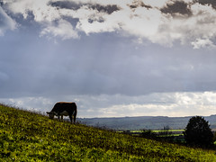 Hereford cow on Round Hill