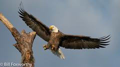 Bald Eagle ,    ,,   ,   ,  October 24, 2020-14
