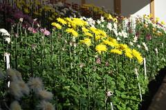 江戸菊 Edo chrysanthemum