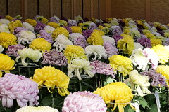 菊の百花繚乱 Hundred flowers of chrysanthemum