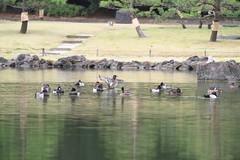 冬仕度に鴨が来たる A duck is coming in winter
