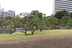 """黒松に「菰巻」The black pine """"Komomaki"""""""