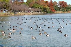 浮間公園の湖面に浮かぶカモ A duck floating on the surface of the lake in Ukima Park
