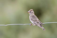 Petronia petronia | Rock Sparrow | stensparv